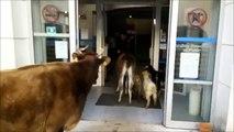 Buzz : En colère, il paye ses impôts avec des chèvres, un lama et une vache !