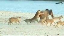 Никогда не сдавайся! Слонёнок против стаи львов