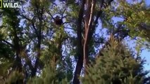 American Bald Eagle Flying, Hunting Nature Wildlife Documentary 480p