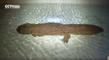 Incroyable : Une salamandre de 200 ans retrouvée vivante
