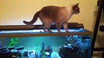 Gato Se Cae En El Acuario!! ★ humor gatos - video divertido gatos chistosos risa gato