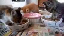 Gatos Se Duermen Mientras Comen ★ humor gatos - video divertido gatos chistosos risa gato