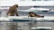 Un ours polaire surprend un phoque endormit sur la banquise et l'attaque