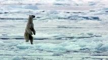 Un ours polaire affamé surprend un phoque sur la banquise arctique