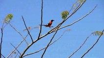 ecology Currupiao brazilian bird watching bird ornitologia