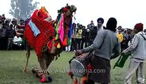 Decorated camel dancing on dhol beats