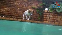 Dog catches fish .. dives to to bottom of  pool, the deep end, catching catfish
