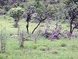 Lioness hunts Baby Zebra