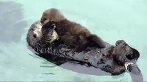 A newborn baby otter was the center of attention this weekend at the Monterey Bay Aquarium. The mother spent the afternoon grooming her pup because puffing up the fur makes it easier for the little one to float in the water