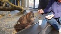 L'incroyable fou rire d'un orang-outang après un tour de magie