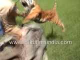 Tiger Attacking a Man on an Elephant