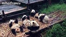 Panda Bear A Funny Panda And Cute Panda Videos Compilation || NEW HD