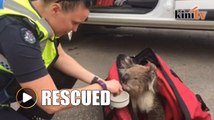 Koala gets lucky in Australian fires