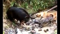 Animal Attacks,Dog Attack,Dog Hunting Wild Boar EXCLUSIVE