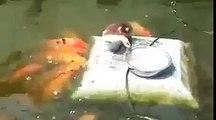 yemeğini balıklarla paylaşan ördek