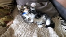 """""""Tickle Me Winnie"""" - Most Adorable and Cutest Kitten Ever Getting Tickled"""