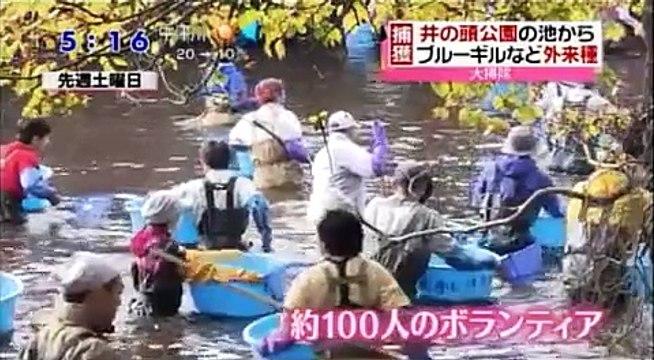 【外来魚】井の頭公園で外来種の駆除が始まる、5000匹以上の捕獲に成功