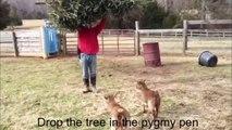 Recycler son sapin en le donnant à manger à des chèvres