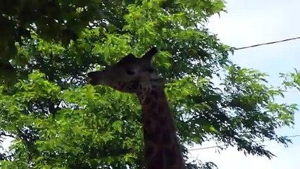 Zoo de Beauval - Une girafe