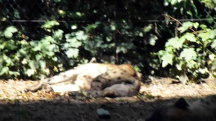 Zoo de Beauval - Hyène paisible