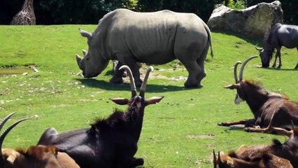 Zoo de Beauval - Rhinocéros