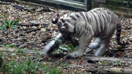 Zoo de Beauval - Des bébés tigres jouent