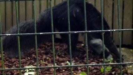 Zoo de Beauval - Un fourmilier cherche sa nourriture