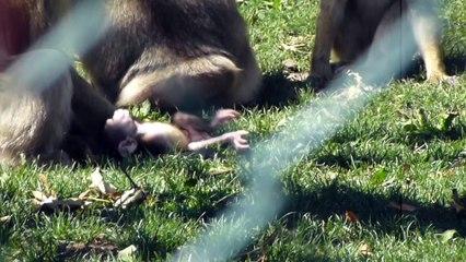 Zoo de Beauval - Bébé singe