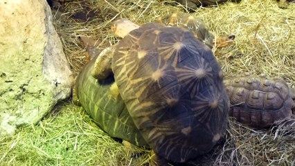Zoo de Beauval - Des tortues baisent bruyamment