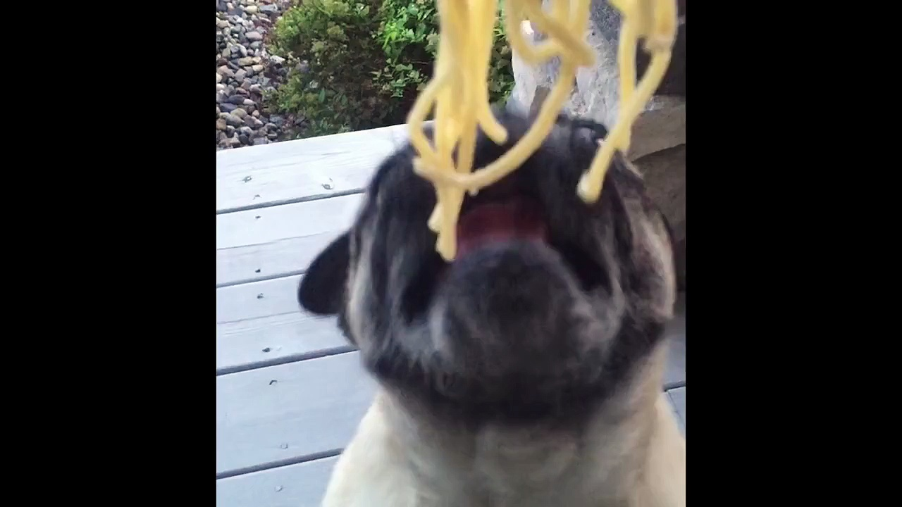 Pug Loves Noodles