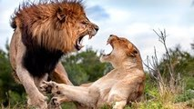 National Geographic animals fighting The Lives Of Lions Nat Geo Wild documentary films HD