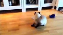 Videos De Risa De Gatos 2015 - Videos Chistosos Gatos - Para Morirse De La Risa
