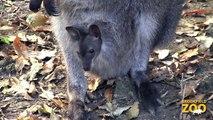 Adorable Wallaby Joeys at Brookfield Zoo  Adorable Kangaroo Joeys at Brookfield Zoo