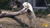 Anana Polar Bear  Adorable Kangaroo Joeys at Brookfield Zoo