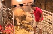 Un taureau fou de joie après avoir été libéré de ses chaînes