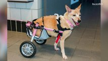 Dog who had legs cut off makes incredible recovery with new wheelchair