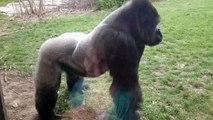 Un gorille s'énerve contre des visiteurs !