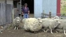 Un pastor se reúne con una oveja  tras 7 años