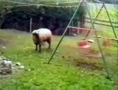 sheep hitting