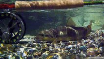 Plaisirs de la pêche à la truite  ~ pêche à la mouche