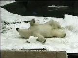 Hudson Polar Bear  Forests Are Important - Polar Bears International at Brookfield Zoo