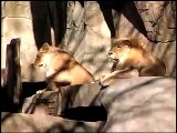 First Lioness in 15 Years at Brookfield Zoo Forests Are Important - Polar Bears International Hudson Polar Bear 2