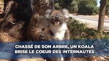 Chassé de son arbre, un koala brise le cœur des internautes