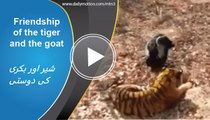 Friendship of the tiger and the goat that was meant to be its supper