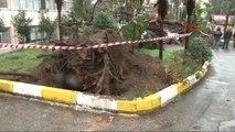 Okul Bahçesinde Dev Çam Ağacı Devrildi: Araçlar Hasar Gördü