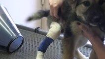 Un chiot avec sa patte cassée se fait soigner et repart comme neuf