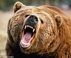 WATCH Grizzly Bears vs Wolves   Bear Fights Wolf