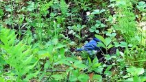 The Blue Jay- Ep 2 - Blue Jays aren't Blue - Short Documentary - Relax and Enjoy Nature