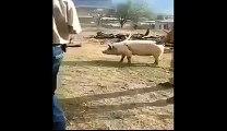 Homme vs Champ de force du cochon - KO direct