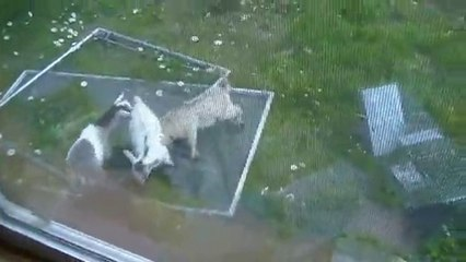 3 baby pygmy goat kids playing and making all kinds of crazy noises